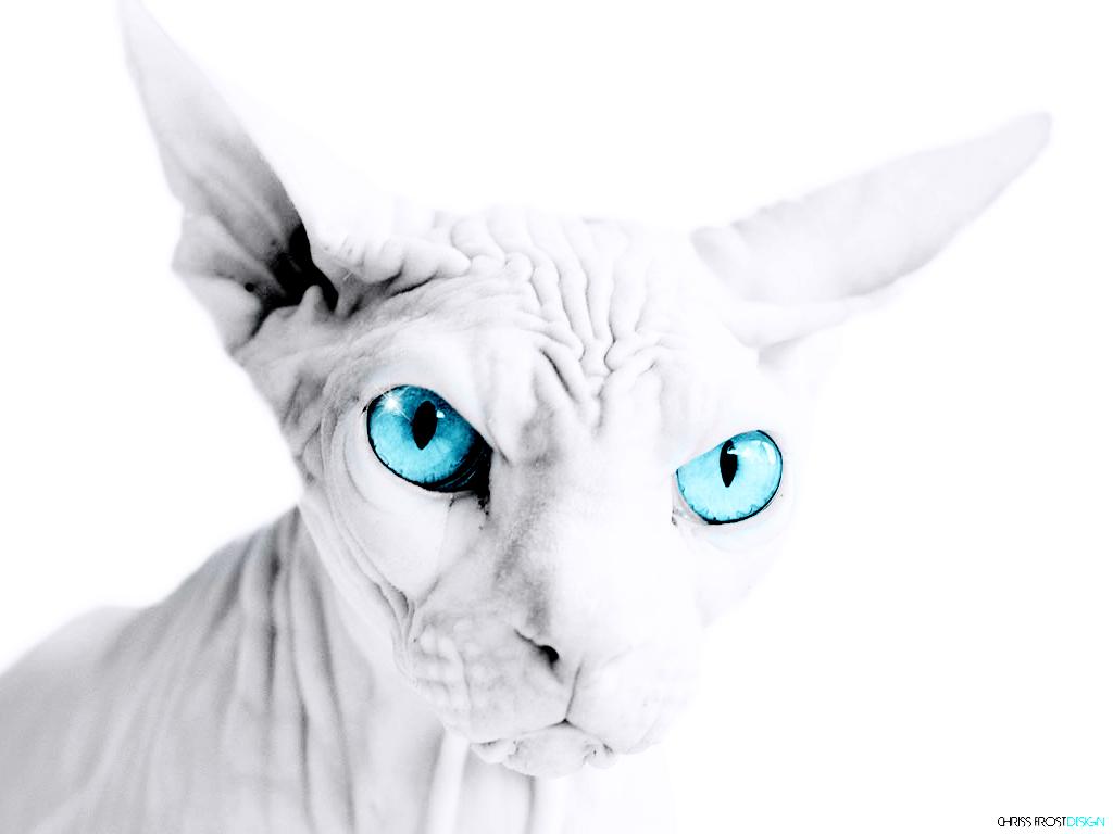 chat sphynx mâle gargouille de la sphère gaia